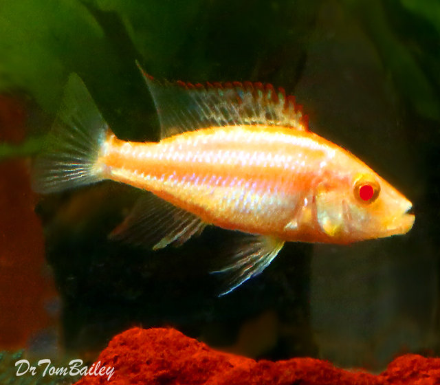 "Premium, Rare, Lake Malawi Albino Compressiceps Hap, Cichlid, 2"" to 2.5"" long"