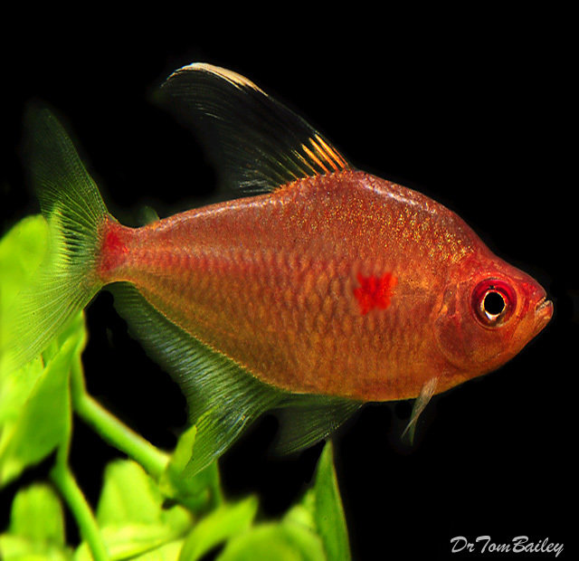 "Premium Diamond Bleeding Heart Tetra, 1.5"" to 2"" long"
