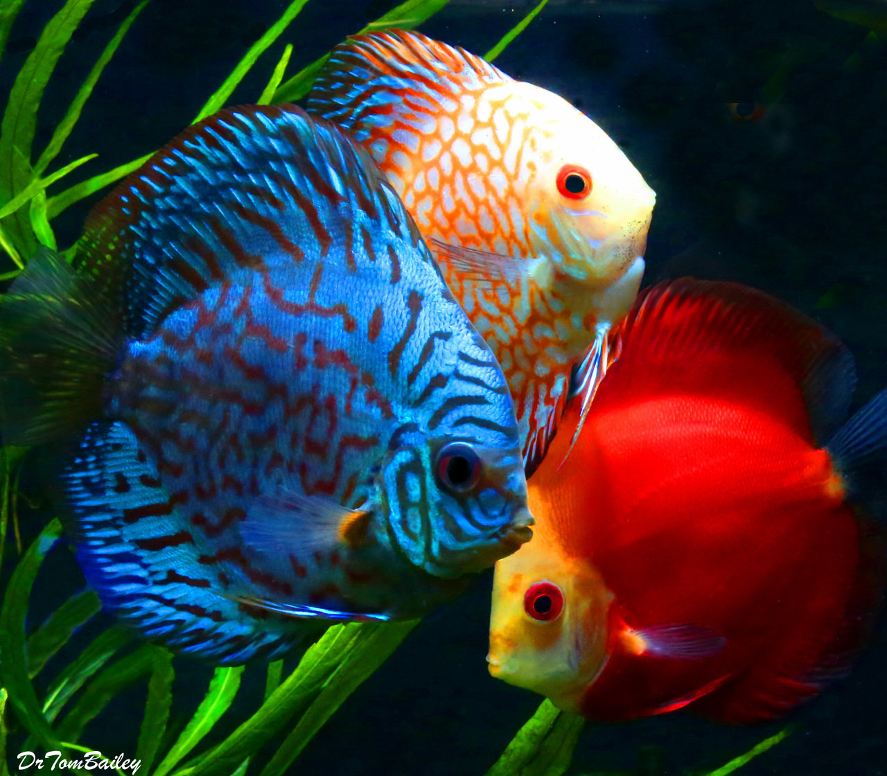 "Premium Assorted Discus, 1.5"" to 2"" long"