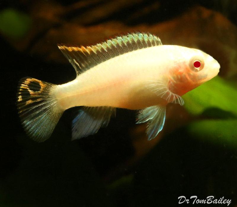 "Premium Albino Kribensis Cichlid, 1"" to 1.2"" long"
