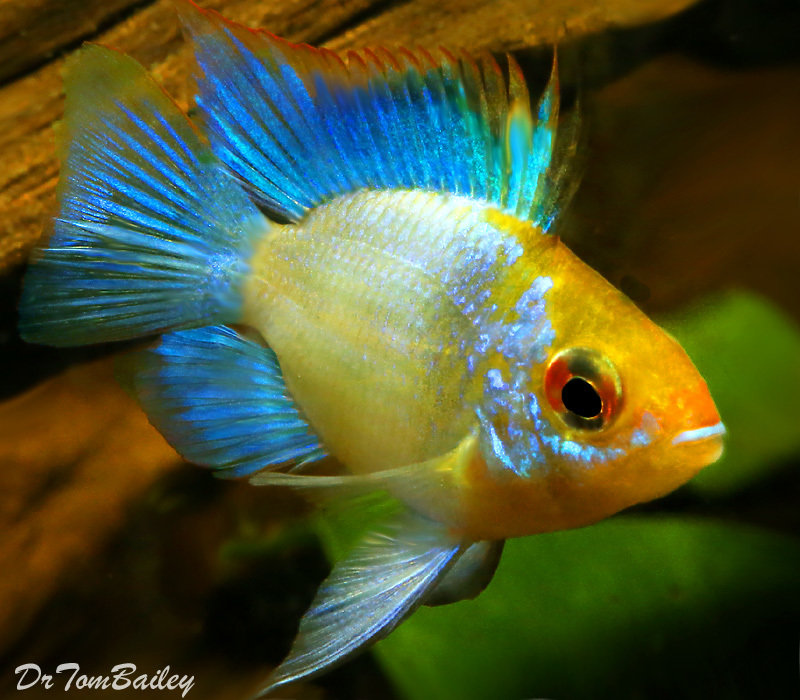 "Premium Rare, Electric Blue Balloon Ram Cichlid, 1"" to 1.5"" long"