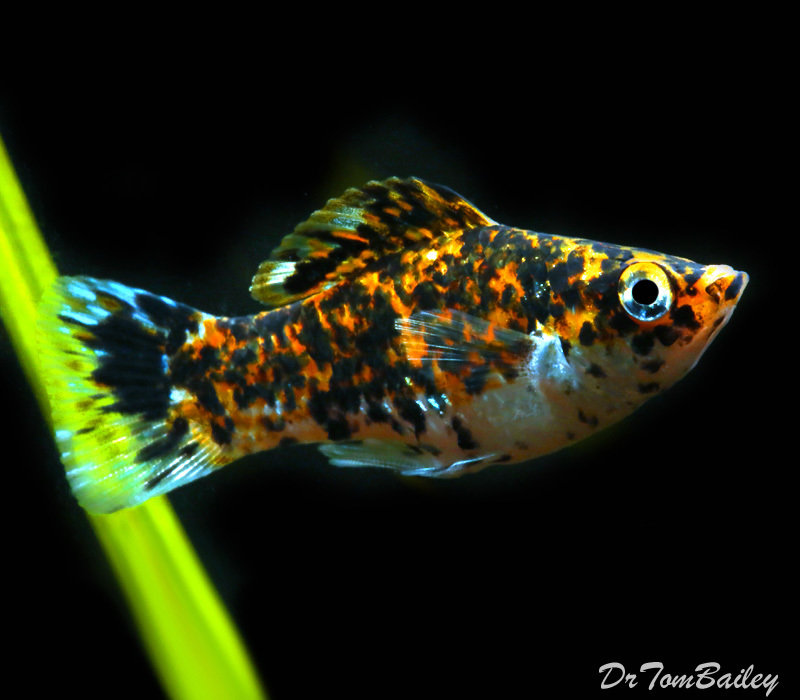 "Premium Speckled Molly, 1"" to 1.5"" long"