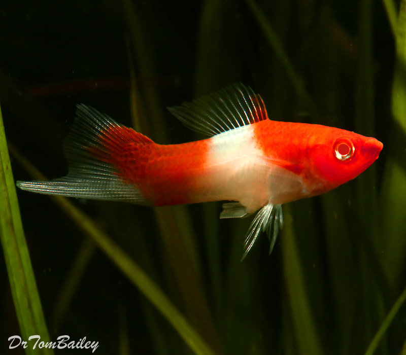 "Premium New & Rare, Kohaku (Koi) Swordtail, 1"" to 1.2"" long"