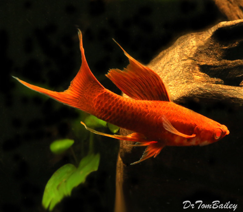 "Premium Rare, Red Eye Red Lyretail Swordtail, 2"" to 2.5"" long"