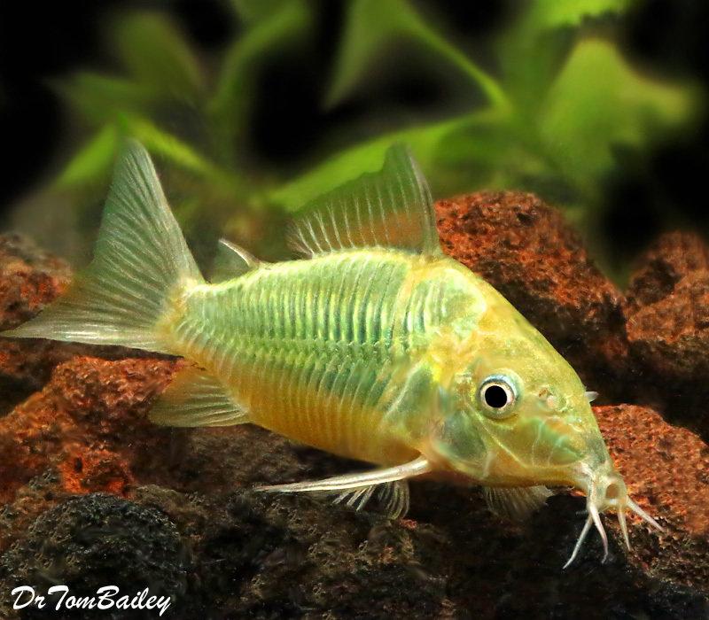 Premium Emerald Green Catfish, 1.5