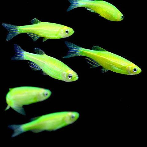 "Premium Electric Very-Green GloFish Danio, 1"" to 1.2"" 2ong"