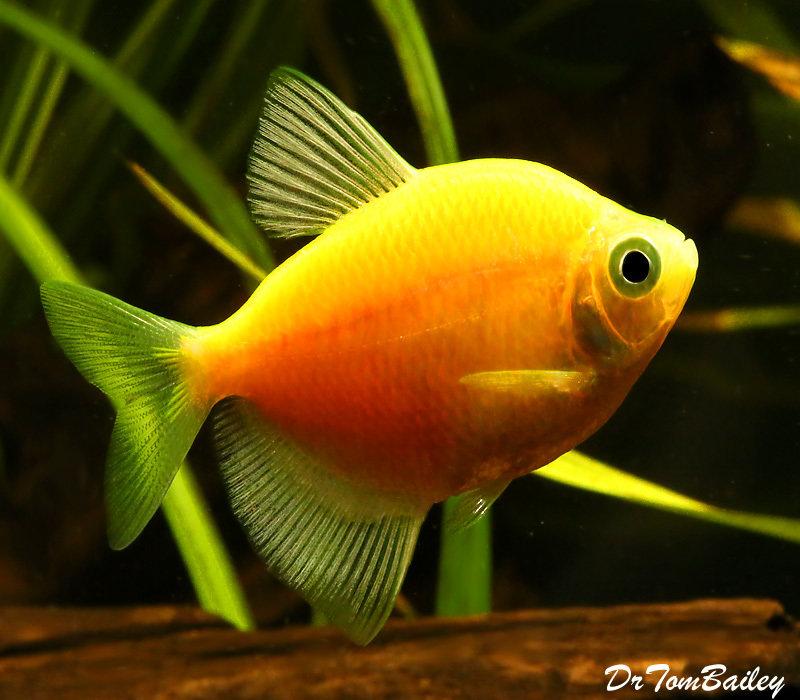"Premium Sunburst Orange GloFish Tetra, 1"" to 1.5"" long"