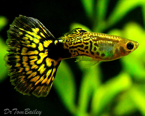 "Premium MALE Green Cobra Fancy Guppy, 1"" to 1.5"" long"