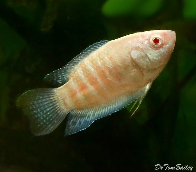 "Premium Albino Paradise Fish, 1.5"" to 2"" long"