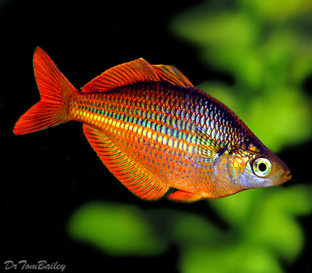 "Premium Trifasciata Rainbowfish, 1"" to 1.5"" long"
