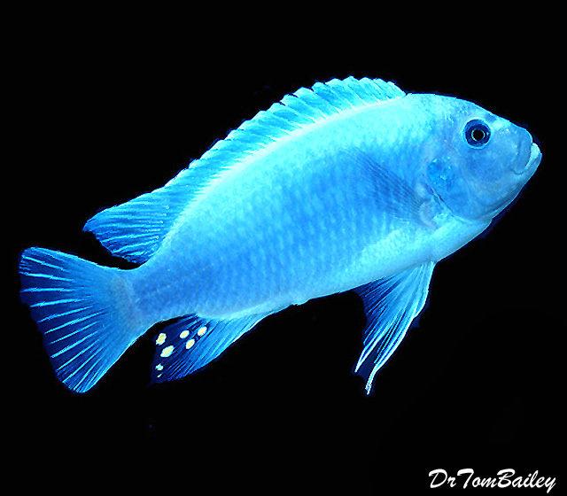 Premium Malawi Cobalt Blue Zebra Mbuna Cichlid, 1.5 to 2