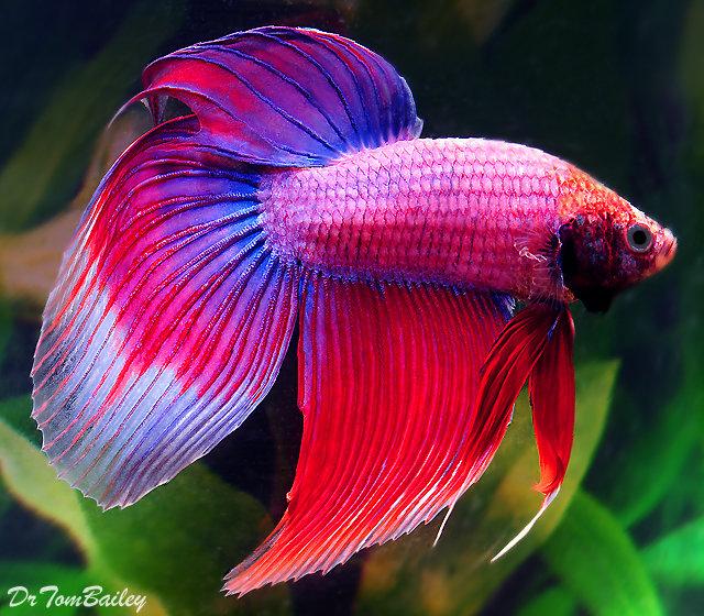 "Premium MALE Cambodian Betta Fish, 2.5"" to 3"" long"