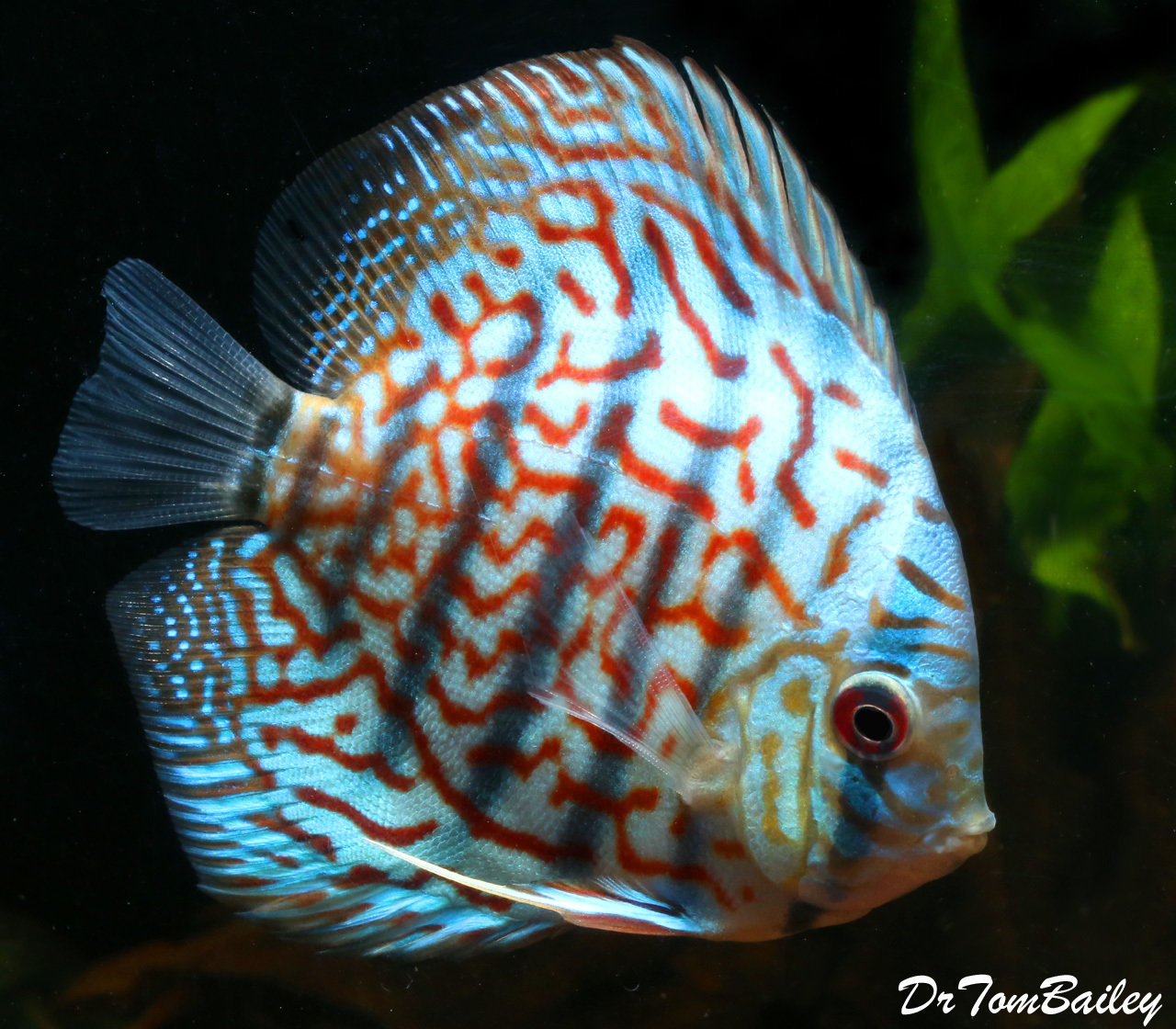 "Premium Red Turquoise Discus, 3.5"" to 4"" long"