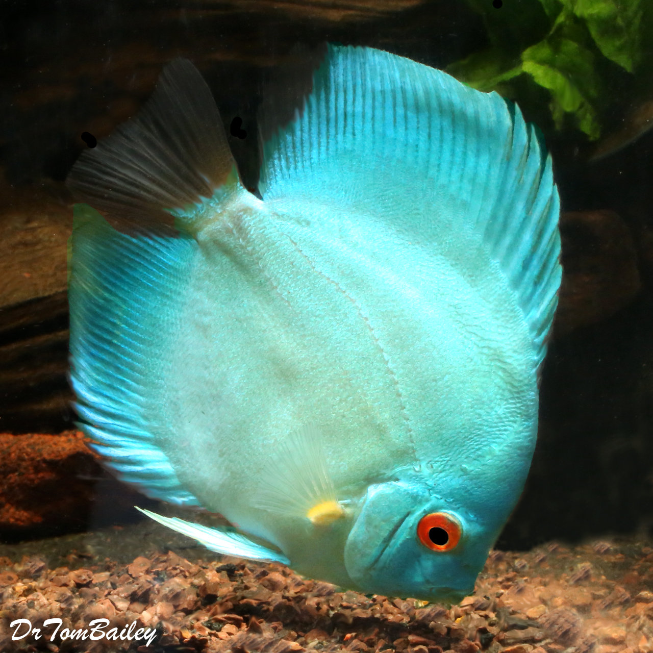 "Premium New WYSIWYG Cobalt Blue Discus, 3.5"" to 4"" long"