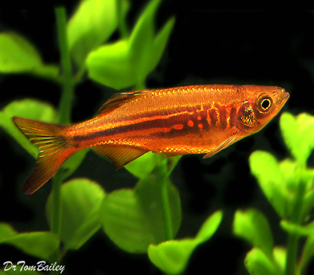 "Premium Giant Danio, 1.5"" to 2"" long"