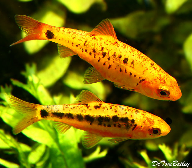 "Premium Gold Barb, 1"" to 1.2"" long"