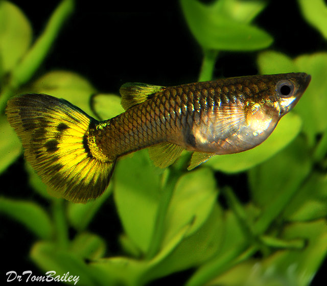 "Premium Fancy Female Assorted Guppies, 1"" to 1.5"" long"