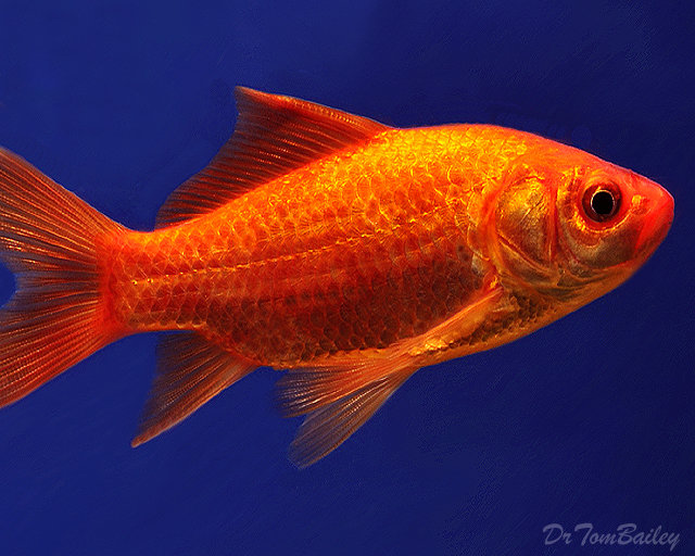 "Premium Red Pond Comet, 3"" to 3.5"" long"
