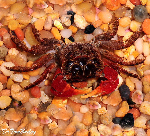 """Premium Red Claw Crab, 1"""" to 1.5"""" wide"""