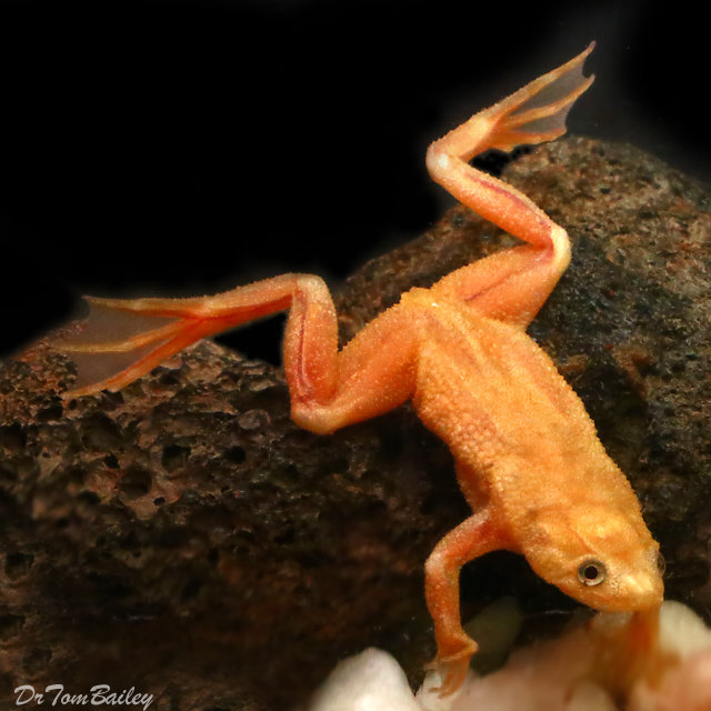 "Premium, Rare, Golden African Dwarf Frog, 1"" to 1.2"" long"