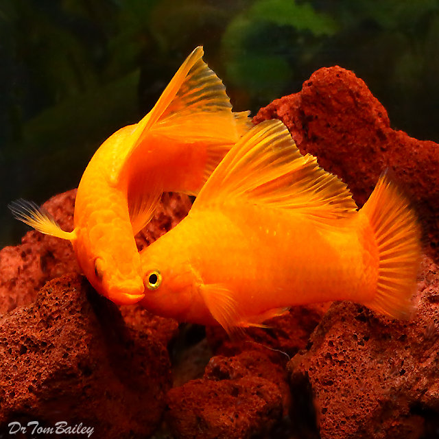 "Premium Rare Male Tangerine Sailfin Molly, 2.5"" to 3"" long"