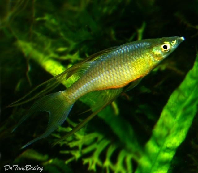 "Premium Threadfin Rainbowfish, 1"" to 1.5"" long"