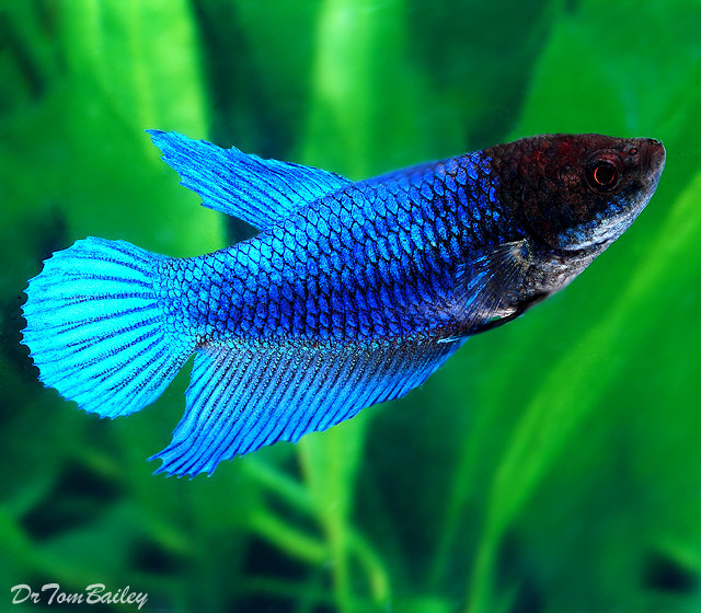 Premium FEMALE Blue Betta Fish, 1