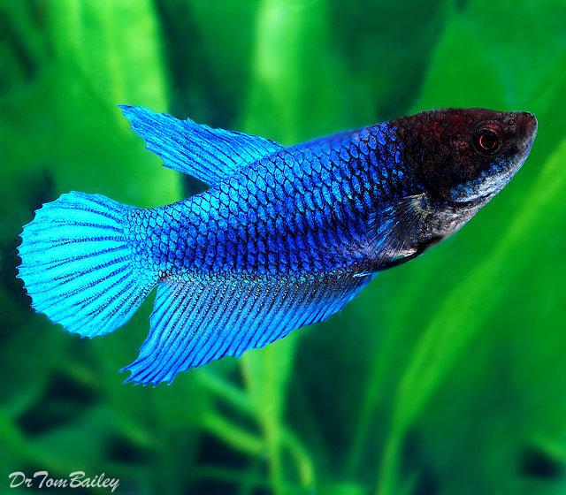 "Premium Blue Female Betta Fish, 1"" to 1.2"" long"