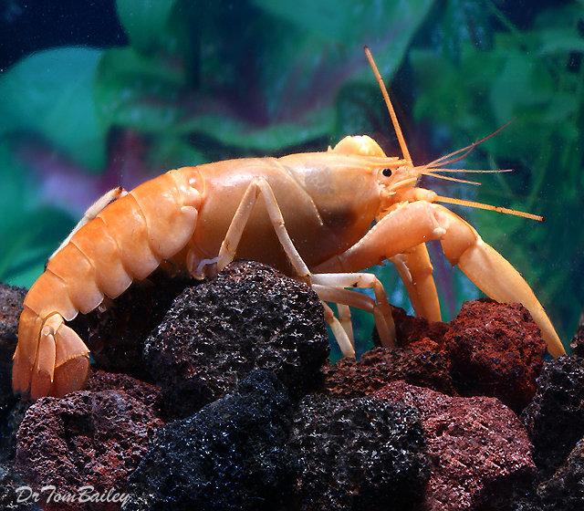 Premium Rare Freshwater Apricot Lobster, 3