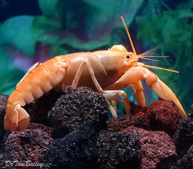 "Premium Rare Freshwater Apricot Lobster, 3"" to 4"" long"
