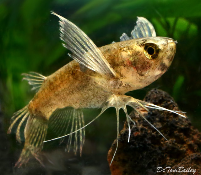 Premium  Wild, African Butterfly Fish, 2.5