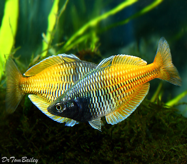 """Premium Boesemani Rainbowfish, Size: 1"""" to 1.5"""""""