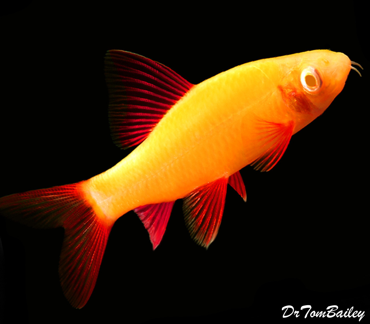 "Premium Sunburst Orange GloFish Rainbow Shark, 1"" to 1.5"" long"