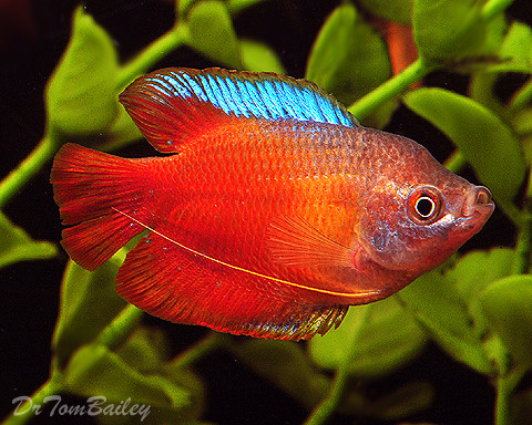 """Premium Young Male Fire Red Dwarf Gourami, 2"""" to 2.5"""" long"""