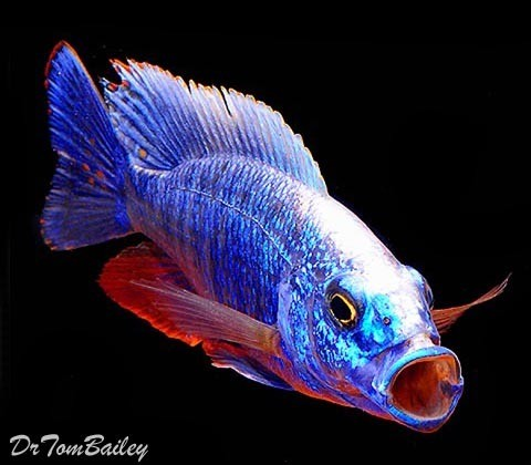 "BABY Lake Malawi Electric Blue Hap, Cichlid, 0.75"" to 1"" long, in our Tank D-68."
