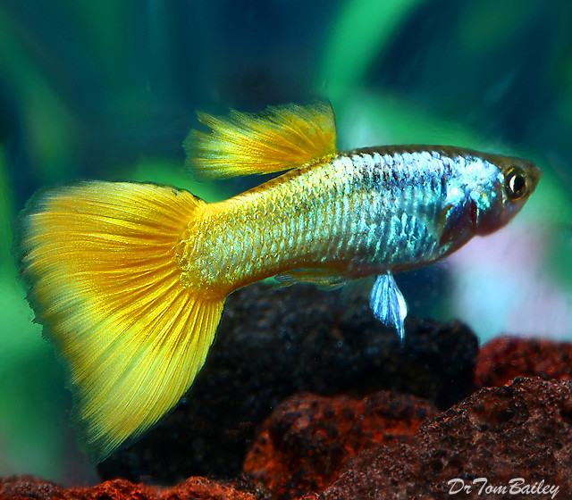 "Premium MALE Sunrise Fancy Guppy, 1"" to 1.5"" long"