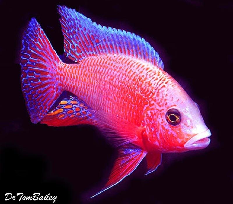 Premium Lake Malawi Firefish Peacock Cichlid, 2