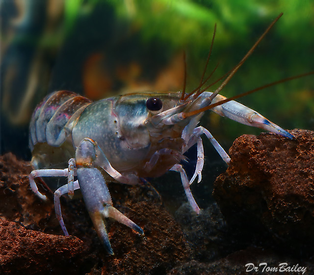 Premium Freshwater Australian Yabbie Lobster, 2