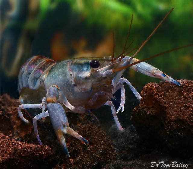 "Premium Freshwater Australian Yabbie Lobster, 2"" to 2.5"" long"