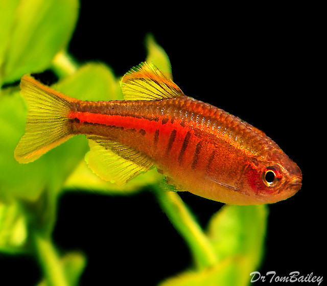 Premium New and Rare, Glowlight Danio, 1