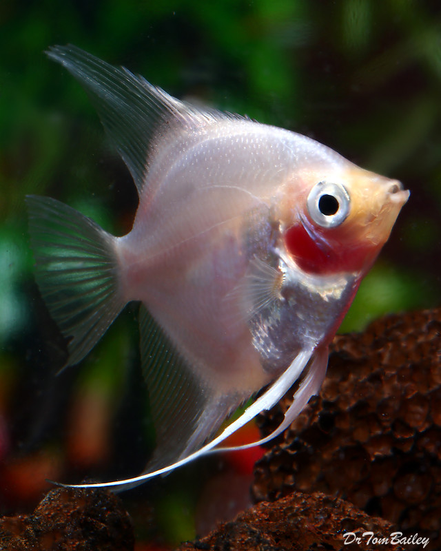 "Premium Blushing Angelfish, 2"" to 2.5"" tall"