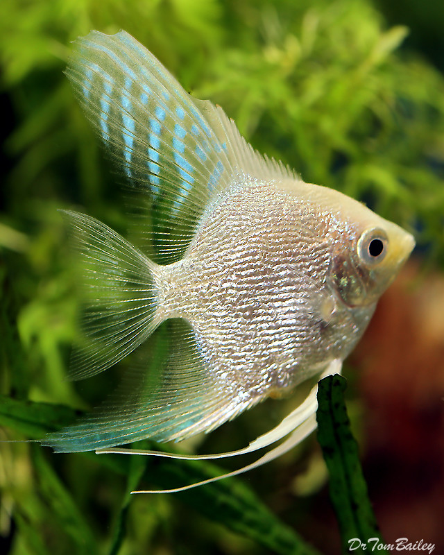 "Premium Platinum Pearlscale Angelfish, 1.5"" to 2"" tall"
