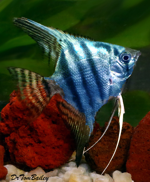 "Premium Rare Blue Zebra Angelfish, 1.5 to 2"" tall"