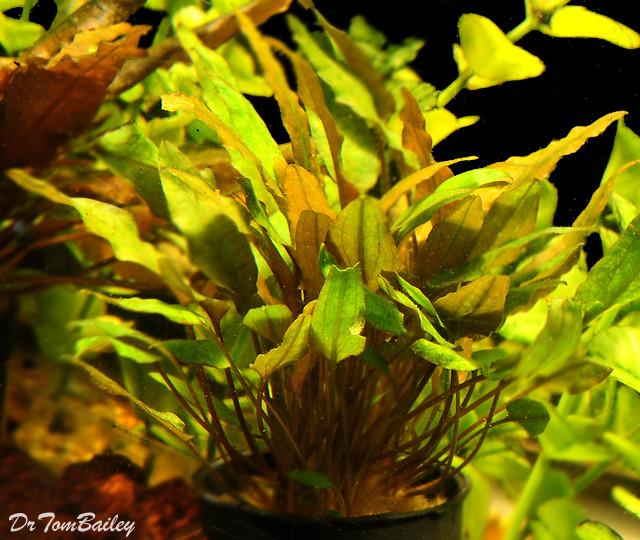 Premium Cryptocoryne Mioya, Potted Plant, 3