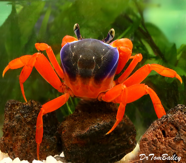"Premium Freshwater Patriot Crab, 2"" to 2.5"" wide"