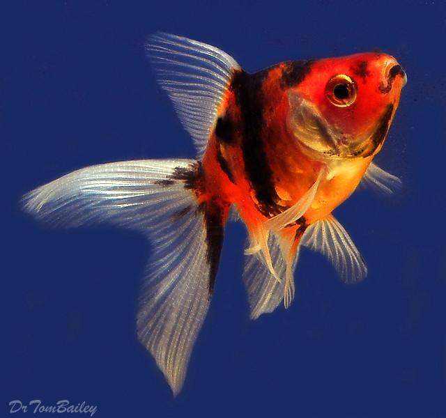 Premium Calico Fantail Goldfish, 2