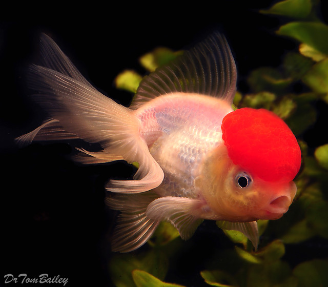 Premium Red Cap Oranda Goldfish, 3
