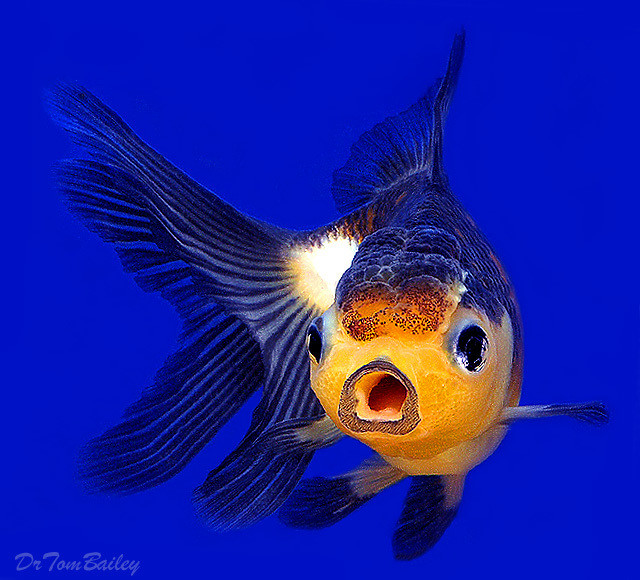 "Premium Rare, Panda Oranda Goldfish, 3"" to 3.5"" long"