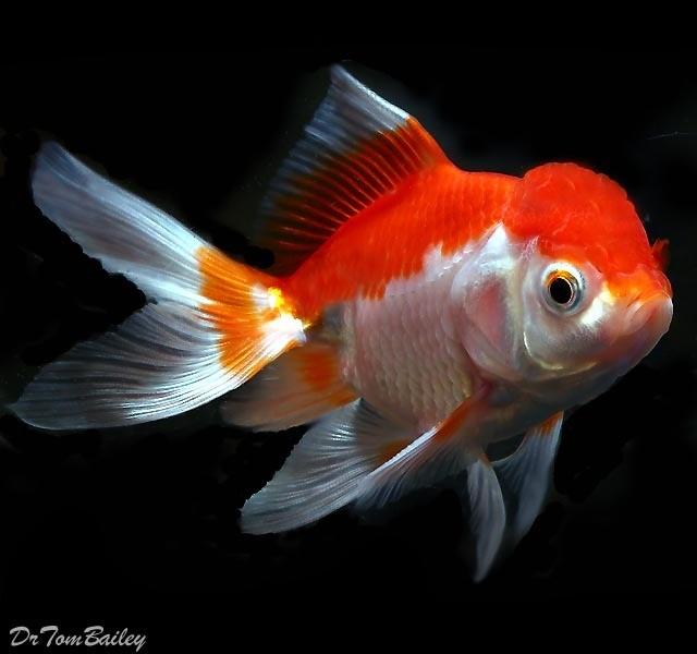"Premium Red & White Oranda Goldfish, 3.5"" to 4"" long"