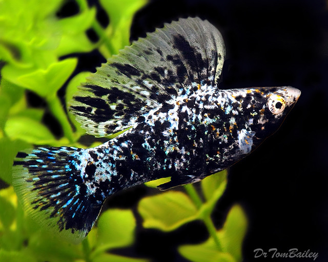 "Premium MALE Marbled Sailfin Molly. 2"" to 2.5"" long"